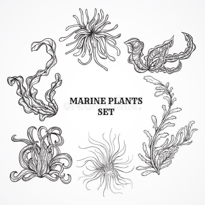 Inzameling van marien installaties, bladeren en zeewier Uitstekende reeks van zwart-witte hand getrokken mariene flora stock illustratie