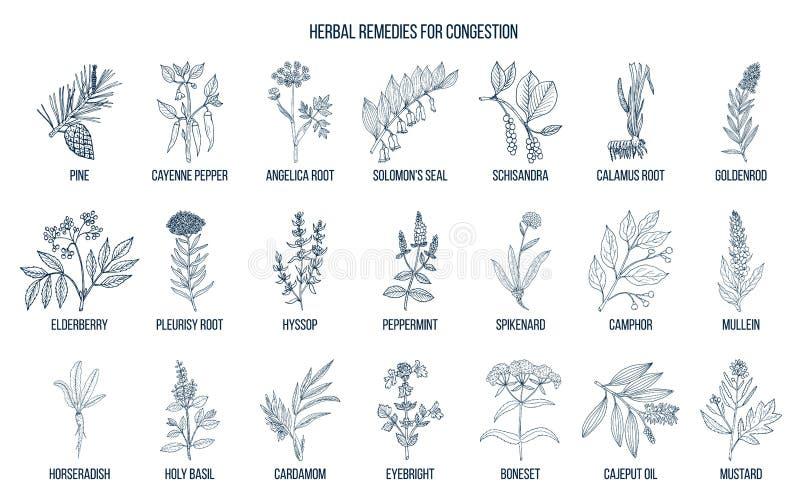 Inzameling van natuurlijke kruiden voor congestie royalty-vrije illustratie