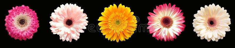 Inzameling van vijf bloemengerberas, verschillende kleuren horizonta royalty-vrije stock fotografie