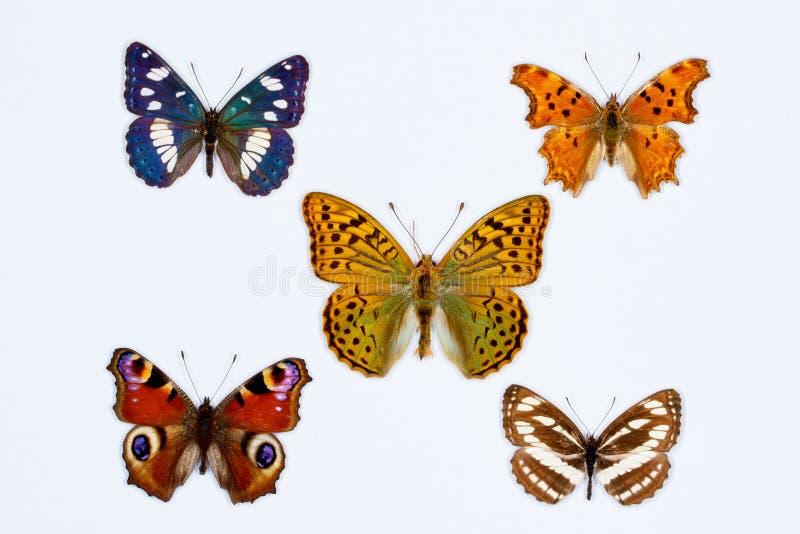 Inzameling van vijf borstel betaalde vlinders op wit stock fotografie
