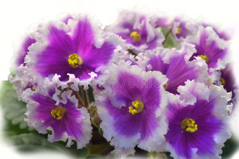 Inzamelings Afrikaanse viooltjes NiL Shamahanskaya Tsaritsa Shamahanskaya Queen royalty-vrije stock foto