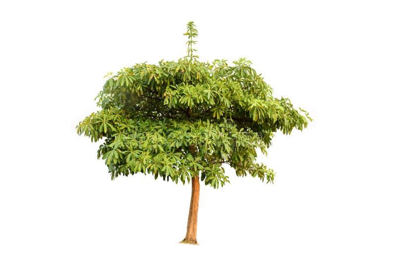 Ioslated träd på vit bakgrund royaltyfria bilder
