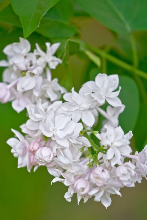 Άσπρα ιώδη λουλούδια στοκ φωτογραφία