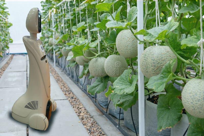 Iot de slimme landbouw, landbouw in de industrie 4 het 0 technologieconcept, tendensrobot die in landbouwbedrijf gebruiken om lan royalty-vrije stock afbeelding