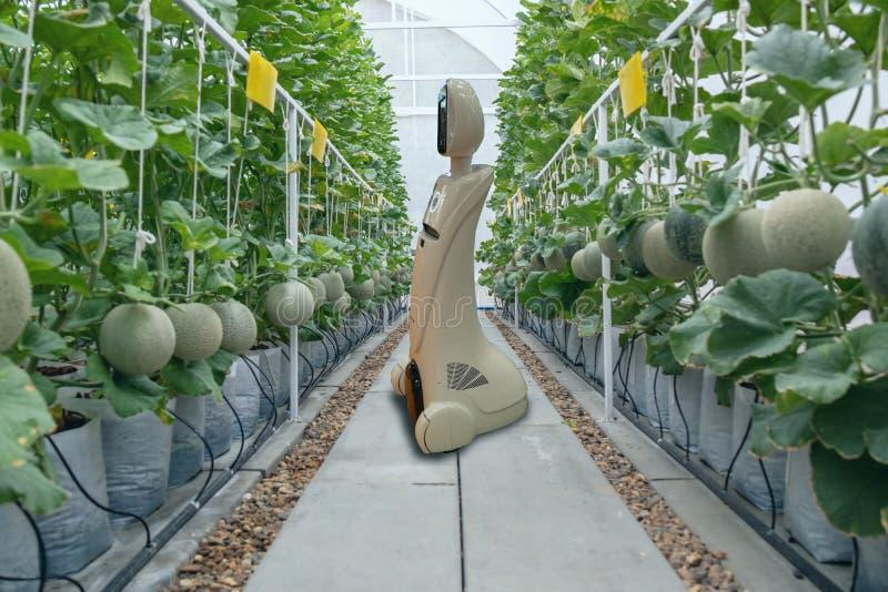 Iot smart lantbruk, jordbruk i bransch 4 0 teknologibegrepp, trendrobot genom att använda i lantgård för att hjälpa data för bond royaltyfria foton
