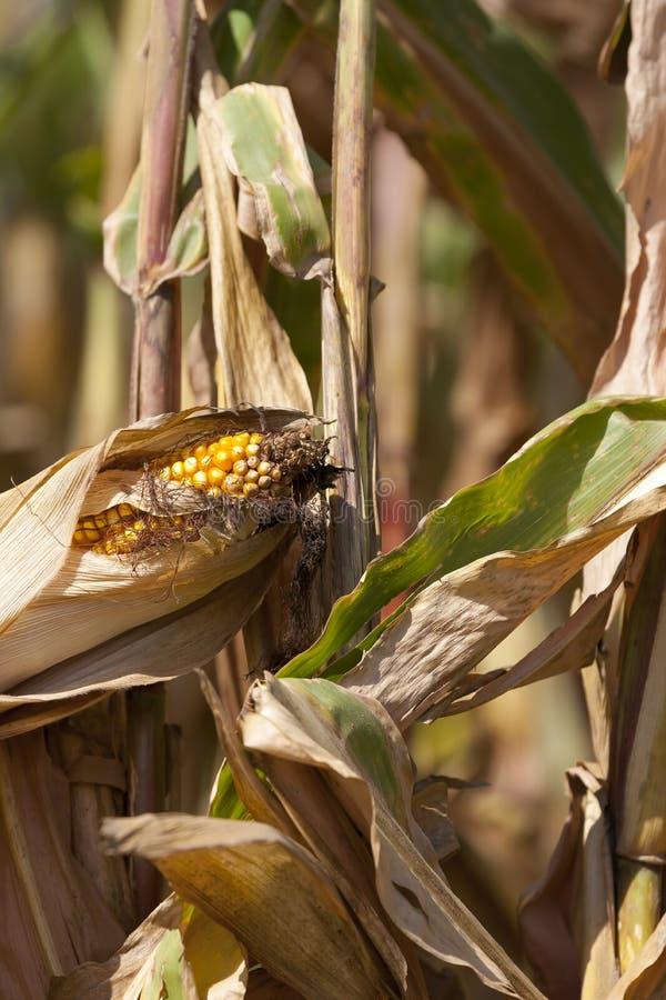 Iowa-Getreidefelder stockfoto