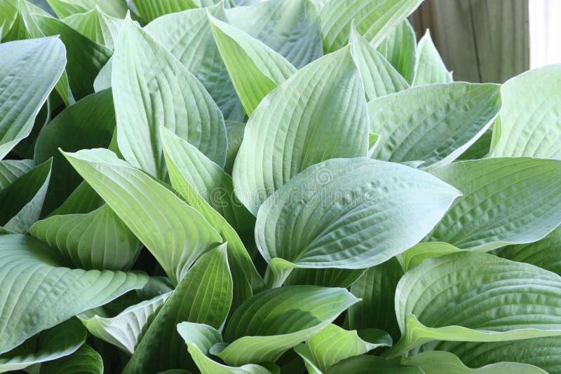 Iowa Hosta. Photo of a Spring Hosta in Iowa stock images