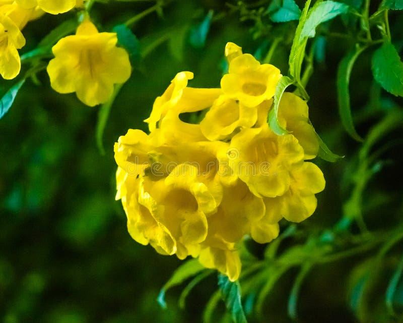 Ipê amarelo, flores tropicais em Brasil imagens de stock
