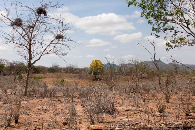Ipê jaune dans l'hinterland photo stock