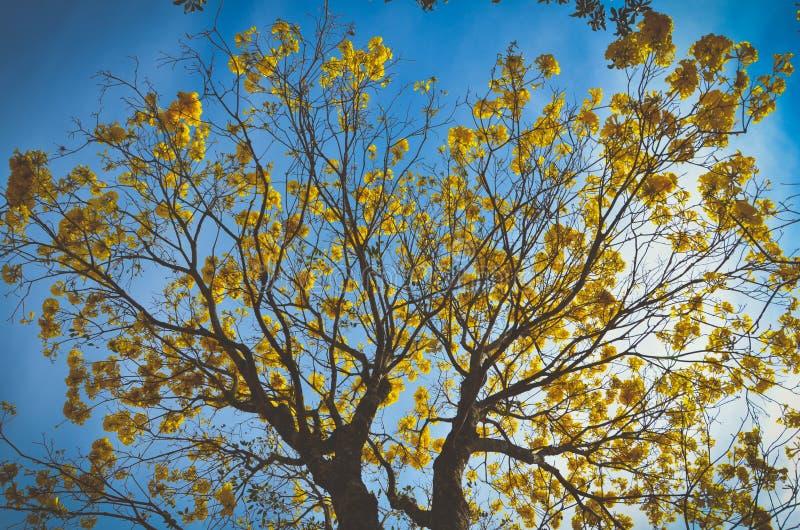 Ipê Amarelo. Yellow ipê tree showing its beauty royalty free stock images