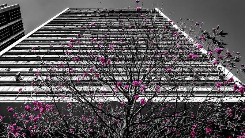 Ipê Rosa dans la ville m photographie stock libre de droits