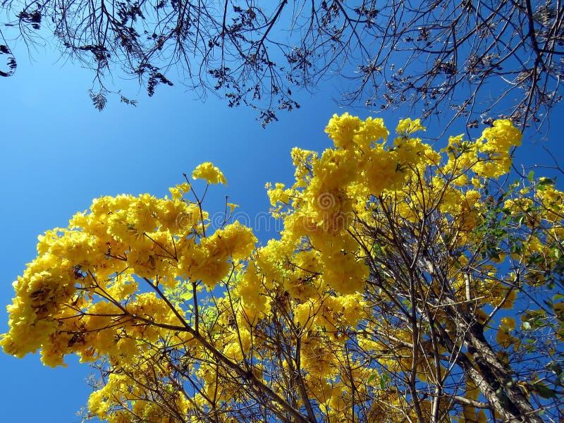 Ipe λουλούδια & x28 Handroanthus albus& x29  στοκ εικόνα με δικαίωμα ελεύθερης χρήσης