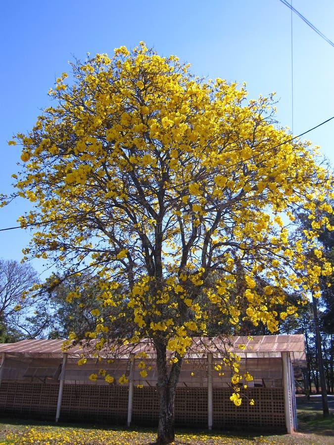 Ipe amarelo - árvore foto de stock royalty free