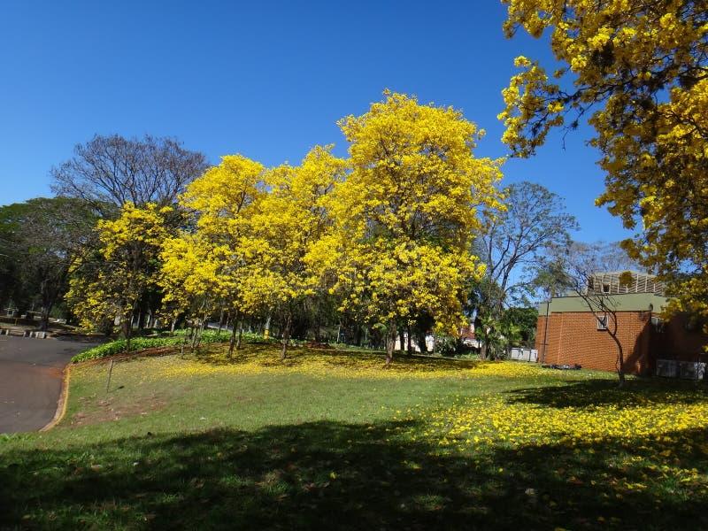 Ipe amarelo - árvore fotos de stock royalty free