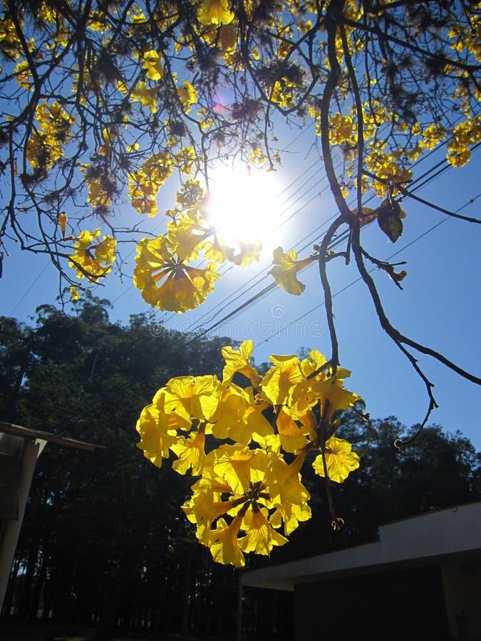 Ipe amarelo fotos de stock royalty free