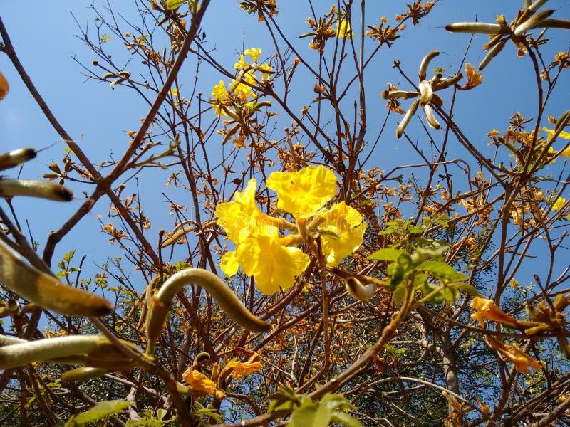 Ipe amarelo - flor imagens de stock