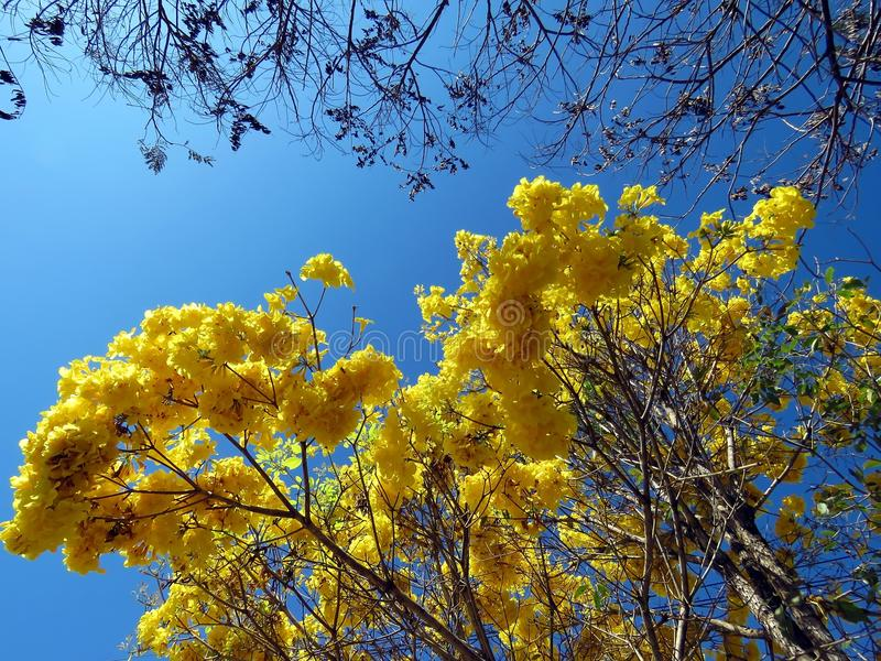 flowers. (Handroanthus albus) royalty free stock image