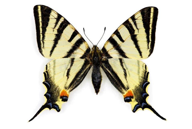iphiclides podalirius rzadki swallowtail obrazy stock