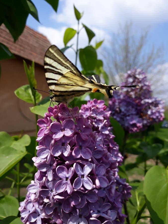 iphiclides podalirius??swallowtail 免版税库存照片