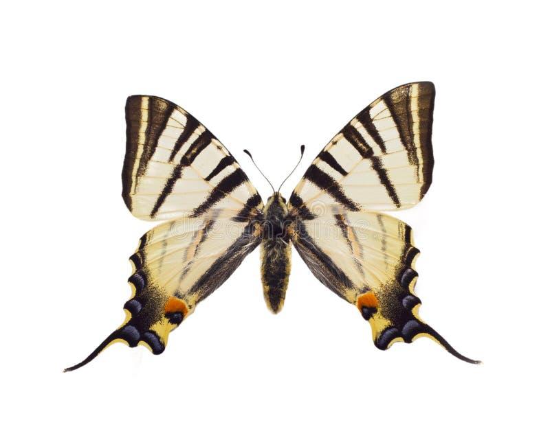iphiclidespodalirius fotografering för bildbyråer