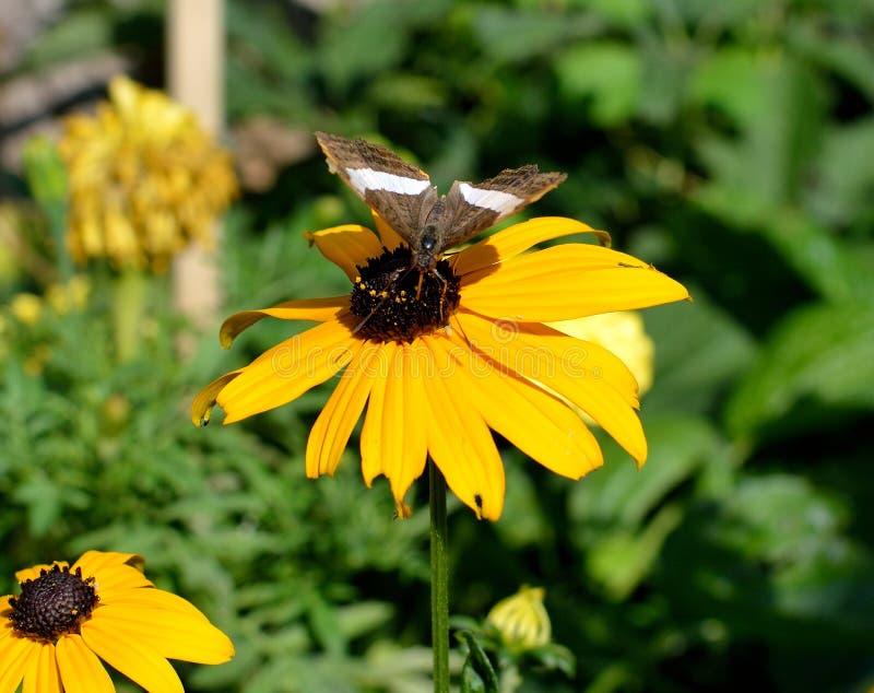 Iphidamas-cattleheart, Transandean-cattleheart Schmetterling auf Sonnenblume lizenzfreies stockbild