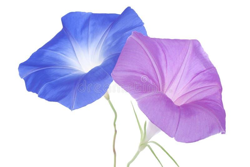 Download Ipomea fotografia stock. Immagine di fiori, petalo, closeup - 30830914