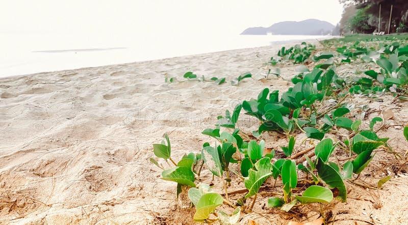 Ipomea fresca verde con molto soleggiato sulla spiaggia fotografia stock