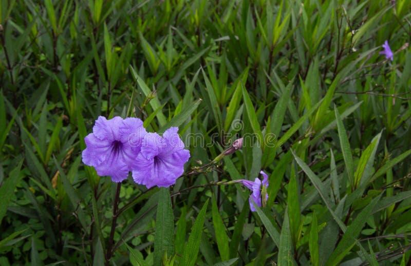 Ipomea porpora due che fiorisce fra le foglie verdi fotografie stock libere da diritti
