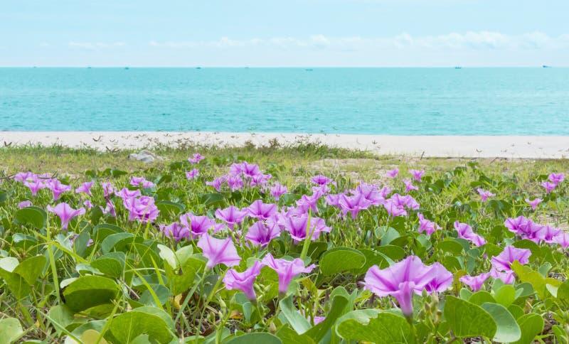 Ipomoea en una playa imagenes de archivo