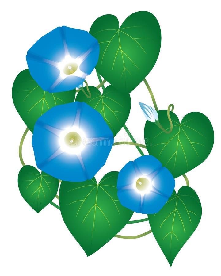 Ipomoea morning glory flower stock illustration