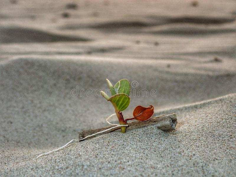 Closeup and macro shot on tiny morning glory flower leaf growing on the sea shore. stock images