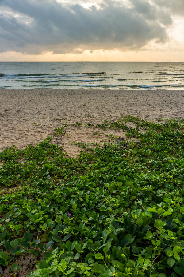Ipomoea pes-caprae on the beach in the morning royalty free stock images