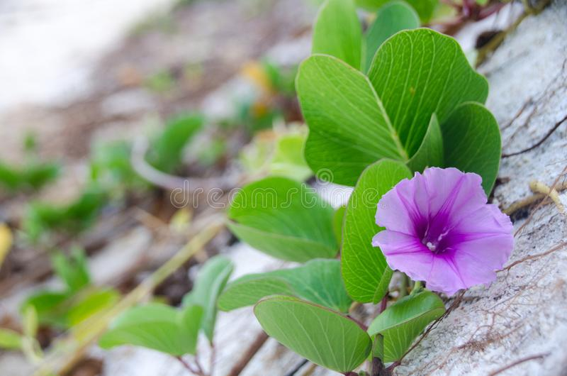 Ipomoea pes-caprae, Green Leafs Goat`s Foot Creeper on the beach. Beautiful beach morning glory on a morning sunshine day. Scientific Name : Ipomoea Pes-caprae royalty free stock photos