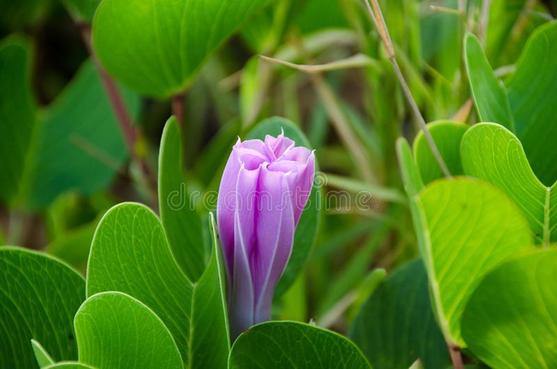 Ipomoea pes-caprae, Green Leafs Goat`s Foot Creeper on the beach. Beautiful beach morning glory on a morning sunshine day. Scientific Name : Ipomoea Pes-caprae stock image