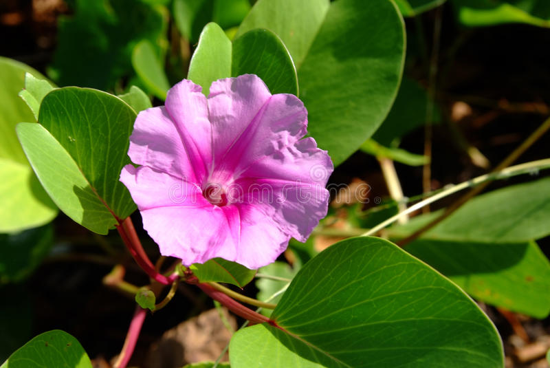 Ipomoea pes-caprae. Pink flowers (Ipomoea pes-caprae) on tropical beach stock photos