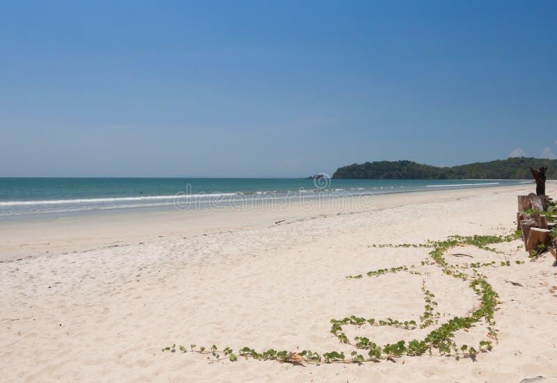 Ipomoea pes-caprae. On white sand beach royalty free stock photography