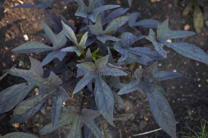 Purple leaves of Ipomoea sweet Caroline plant royalty free stock photography