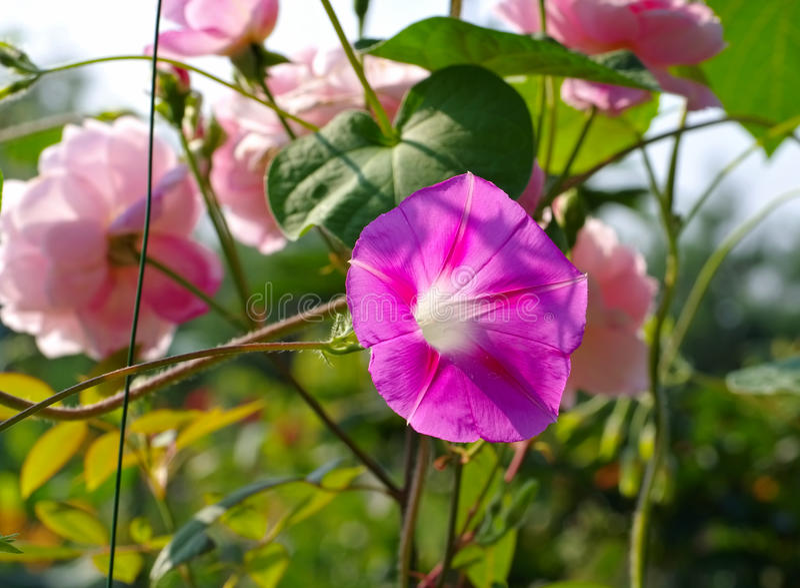 Ipomoea tricolor en verano fotos de archivo