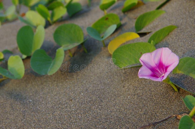 Ipomoeapesen-caprae i sand arkivfoton