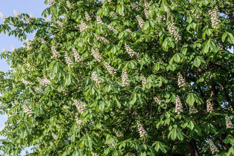 Ippocastano con i fiori bianchi della molla fotografia stock