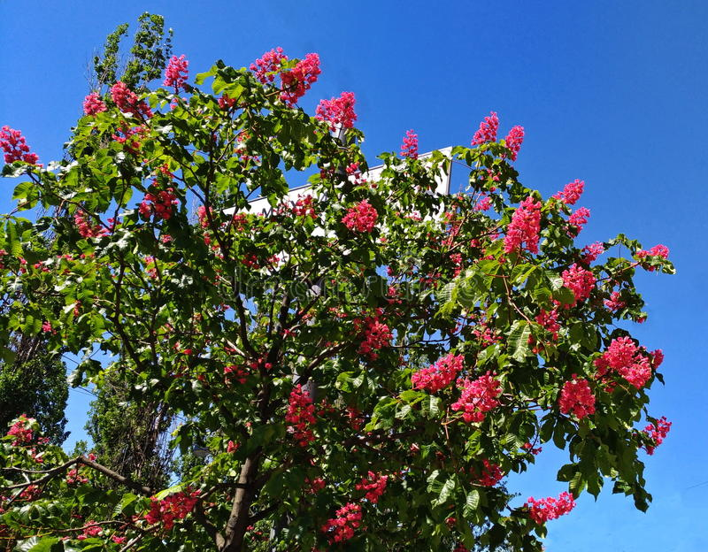 Ippocastano rosso, carnea di aesculus, aesculus hippocastanum ibrido immagini stock libere da diritti