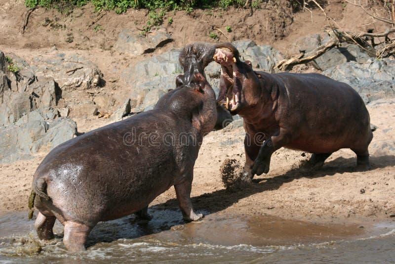 Ippopotami che combattono in Africa immagine stock