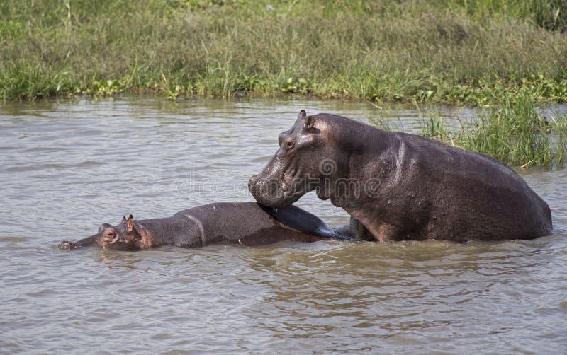 Ippopotami che si accoppiano nel Nilo fotografia stock libera da diritti