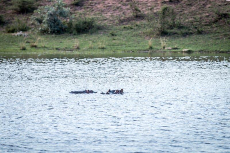 Ippopotami in un waterdam in Welgevonden fotografia stock libera da diritti