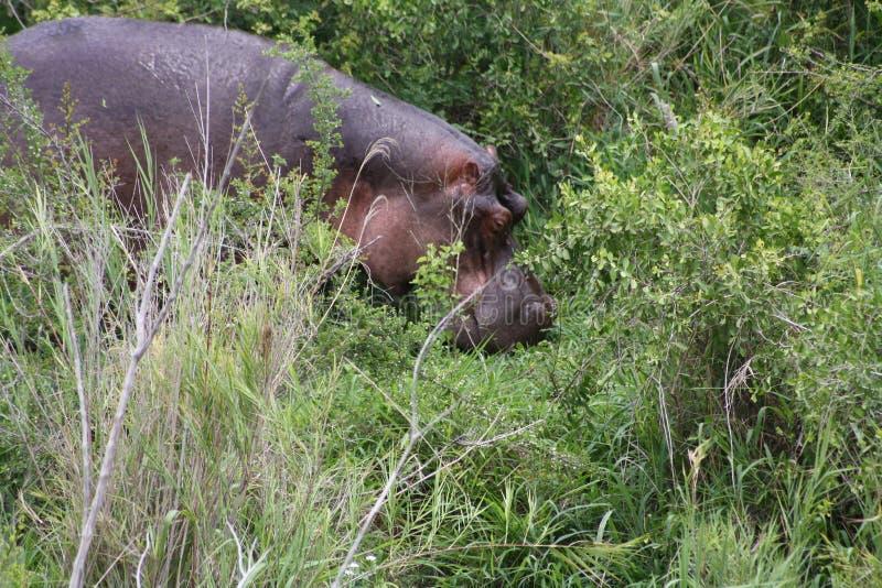 Ippopotamo africano immagini stock