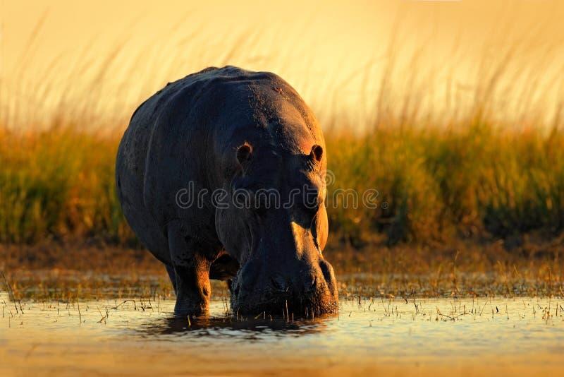 Ippopotamo africano, capensis di amphibius dell'ippopotamo, con il sole di sera, animale nell'habitat dell'acqua della natura, fi fotografia stock