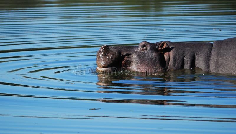 Ippopotamo (amphibius del Hippopotamus) fotografia stock