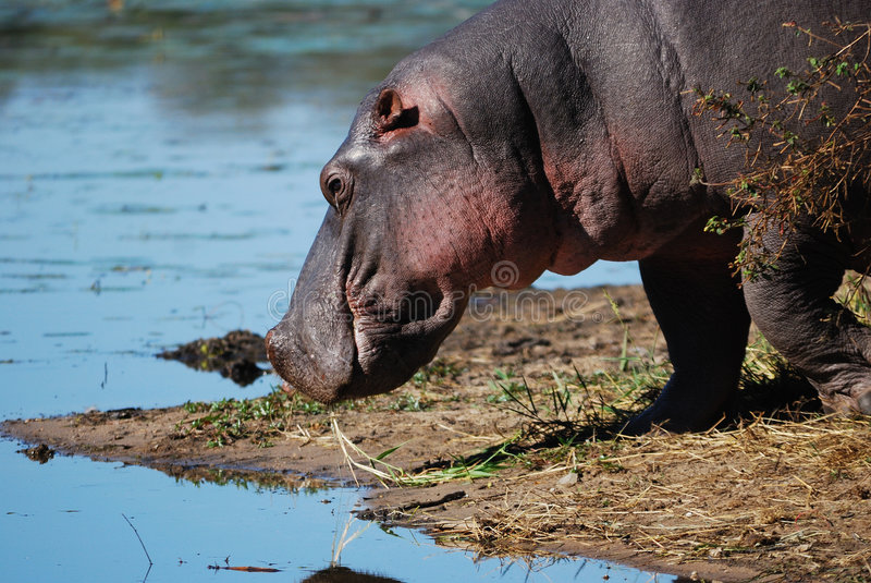 Ippopotamo (amphibius del Hippopotamus) fotografia stock libera da diritti