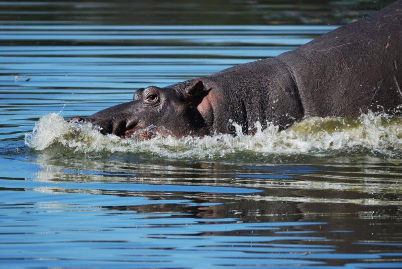 Ippopotamo (amphibius del Hippopotamus) fotografie stock