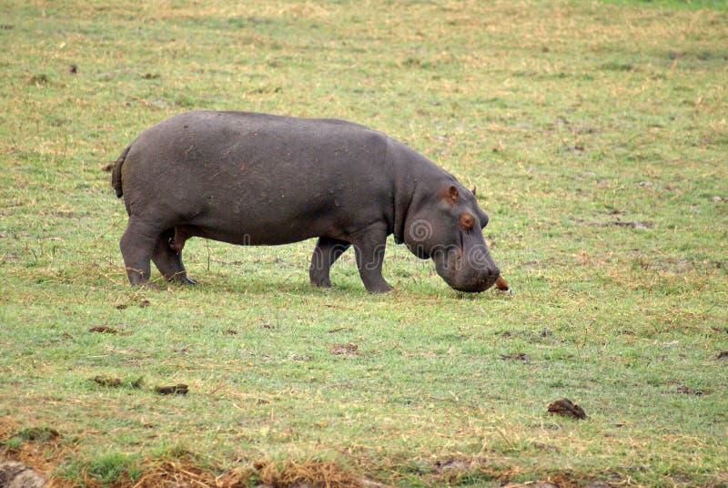 Ippopotamo che pasce nel Botswana fotografia stock